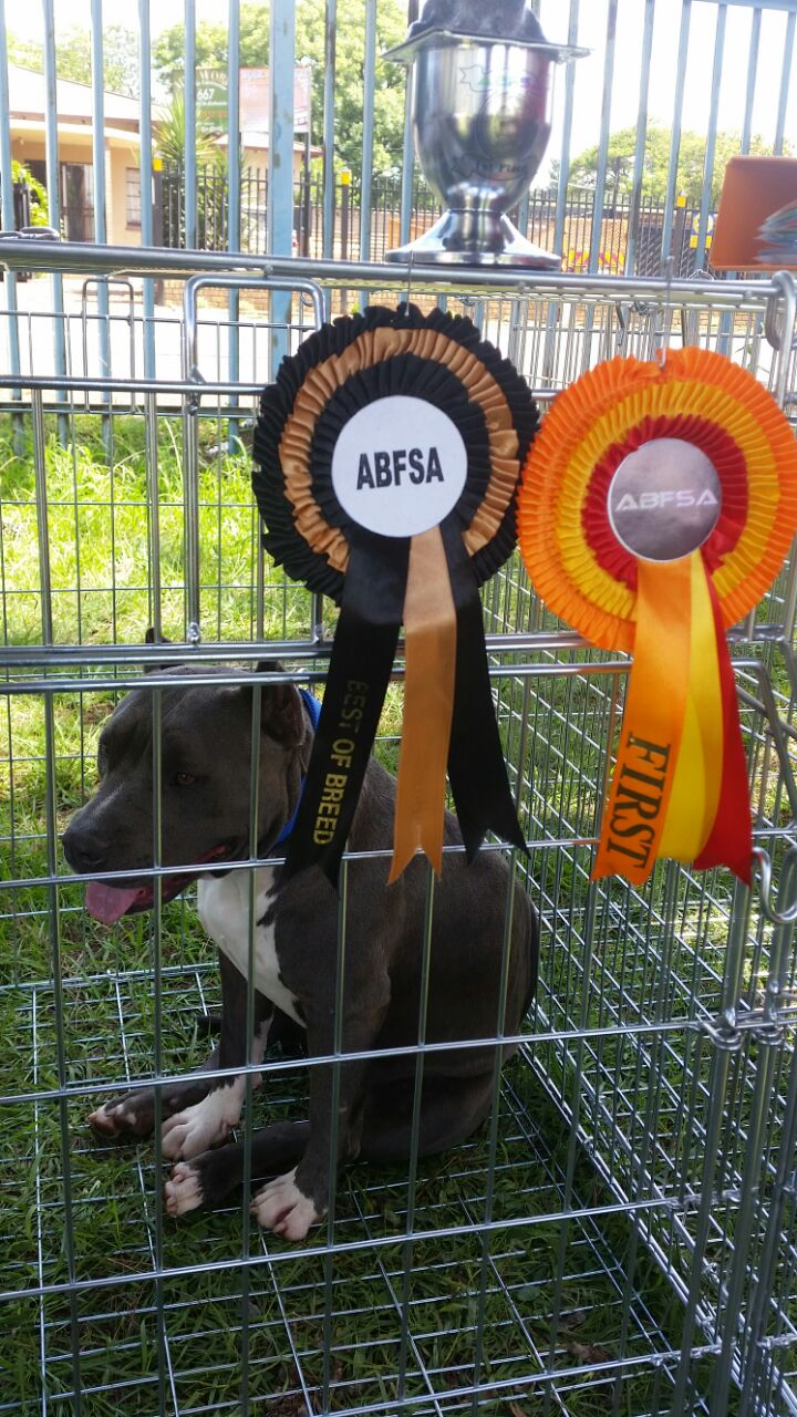 Woodstock As – First Place In Class And Best Breed Bully Females